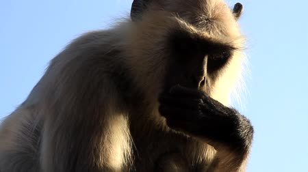 monkey temple : Langur monkey eats. Sends seeds into his mouth alternately with his left and right handы, hoping to take food from the ground. Good coordination and finger dexterity