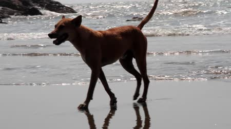 ter cuidado : Red-haired toasted stray dog walking along the picturesque Malabar shore, Goa, India