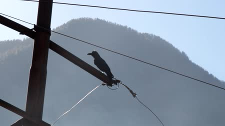 birding tours : jungle crow ((Large-billed crow, Corvus macrorhynchos) sits on a primitive power pole (no insulators) in the Himalayas vailly. India
