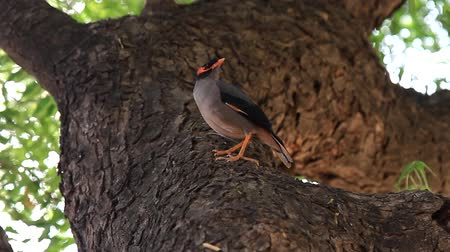 bird learning : Starling myna (Acridotheres tristis) sits on the trunk of an old tree - Harms the gardens but locust adversary, mock bird - good at learning human language. India