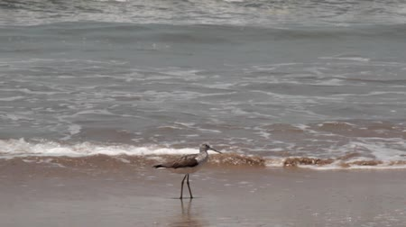 synanthropic animals : Marsh and mud Greenshank (Tringa nebularia) in the winter place on the shore of the Arabian sea. During the winter birds change their way of life Stock Footage