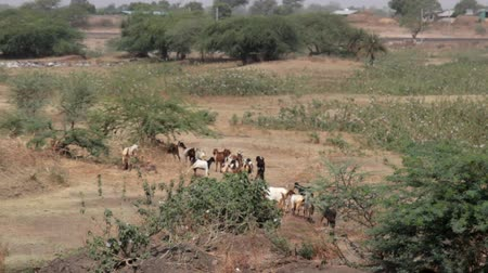 agrarian : herd of goats returns home from grazing. Overgrazing of meadows with cattle and abundance of prickly plants in this regard. Deserted scrub. View from a passing train. India Stock Footage