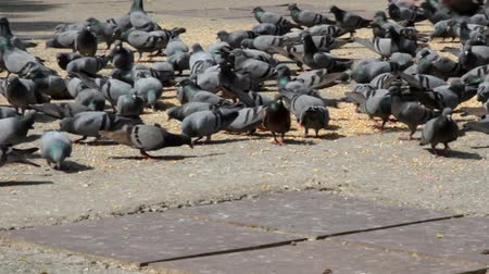 synanthropic animals : A lot of corn is poured for feeding pigeons in the Indian city. Feeding birds and mammals near sanctuaries as a norm in Hinduism, bed sanitary conditions because disease vectors. Wild type rock pigeon Stock Footage