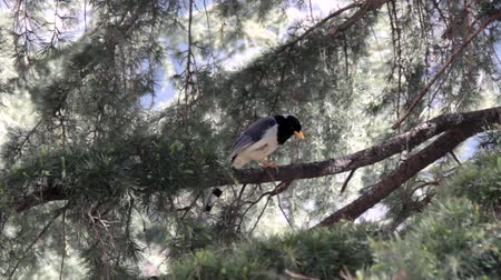 bird guide : Red billed blue magpie (Chinese blue pie, Urocissa occipitalis) on the Himalayan cedars, characteristic manner of pies dive down