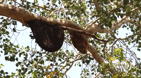 collectief : Bees swarm on tree branches, swarming behavior, colonies, diameter of nest of wax honeycombs about meter. Jaisalmer, Great Indian desert Thar, parkland. Indian bees (Apis cerana indica) are peaceful Stockvideo