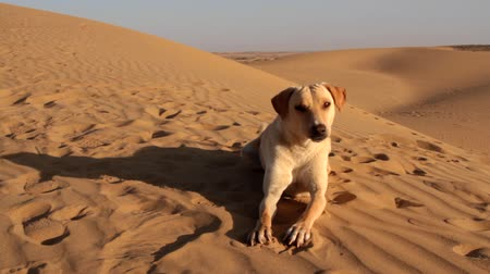 dene : Sand dog. Dog in Great Indian desert Thar on crest of barchan dune, row of sand dunes. Pay attention, dog has sand colour, paws are adapted for running on sand, ears closed Stock Footage