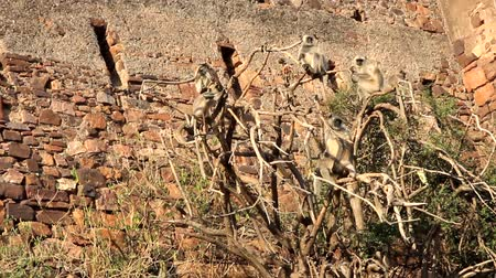 synanthropic animals : Langur monkeys sit, jump and rest on a dry tree in front of a high fortress wall. Exotic ancient Indian city