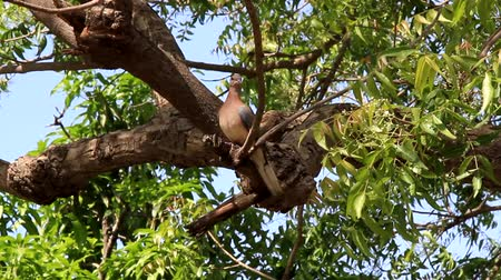 家禽 : Laughing dove - gorgeous gentle dove on a green tree. Common name, human epithet of a girl innocent creature 動画素材