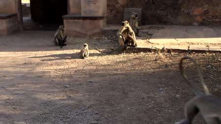 synanthropic animals : pack of langurs in the old Indian city. Monkey town Stock Footage