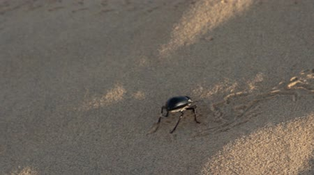 feroz : Uncertain not warmed up beetle Blaps in the winter sun makes a way in the sandy desert. The Great Indian desert, Thar Vídeos