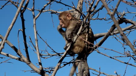 marnost : A young rhesus monkey (Rhesus macaque) feeds of young buds on the top of a tree