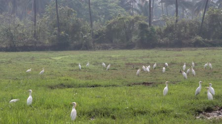 сушка : Birds Of India. Cattle egrets in the multitude gathered on drying up the swamp. Among them are several Paddybirds. Lack of water and food in dry winter Стоковые видеозаписи