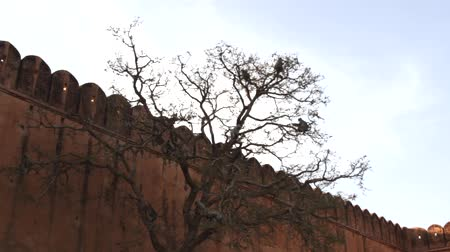 synanthropic animals : Langur monkeys feed on buds on a high tree in front of the fortress wall, feeding behaviour