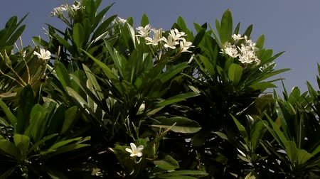 floriculture : India. The flowering shrub of Plumeria alba from Central America, is introduced in Southeast Asia. Stock Footage