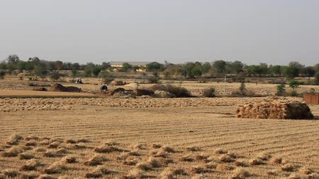 outlier : The harvest of grain. Part of the sheaf of wheat is on the field, the other is folded into a stack. Small private fields in Central India, crofting agriculture