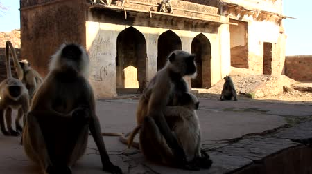monkey temple : family pack of monkeys langur are mostly females with cubs and young animals on the walls like in the history of Mowgli (Bander-logs). India