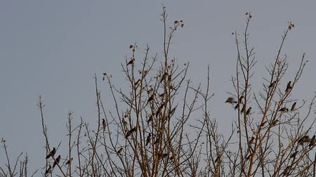 bird learning : Mixed flock of starlings myna (Acridotheres) on a tree in winter