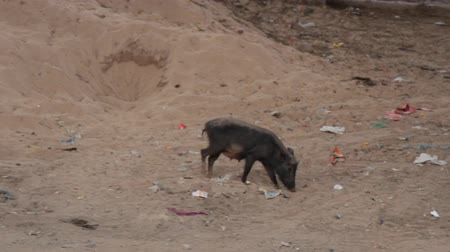 muck : Black thin pig fed in the vicinity of the village. Pigs live on semi-floor content in India Stock Footage