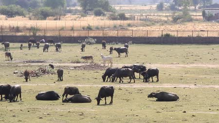 livestock sector : Buffaloes, cows and zebu cattle in the village pasture. India