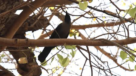 synanthropic animals : Indian house crow (Corvus splendens) on the tree, bottom view