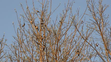 szpak : Mixed flock of starlings myna (Acridotheres) on a tree in winter