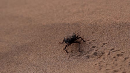 divoký : Early morning in the sandy desert, the beetle Blaps did not absorb dew and did not heat up. Sand stuck on the beetles wet back
