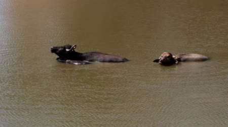 cow flies : Buffalo enjoy in the water on a hot day, away from the flies. Cow with calf