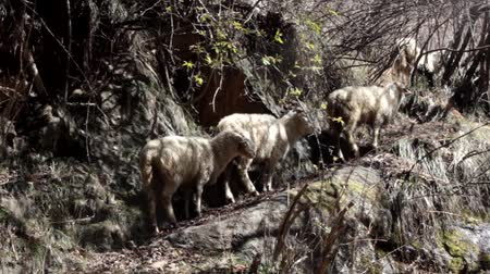 tag : Narrow mountain path, ovring. Sheep rest in the shade of the slope and bushes. Sheep in the mountains of Asia