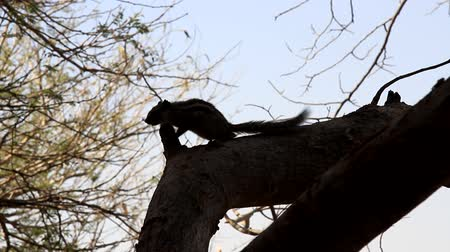 synanthropic animals : Indian palm squirrel (Funambulus palmarium) screaming to human and funny flicks tail. Excited animal profile. India