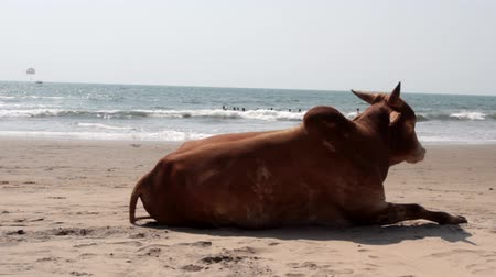 indicus : Cow zebu on the beach. Look at the swimmers and kite surfing. Arabian sea, Goa