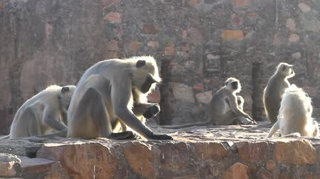 monkey temple : Langur eats ants crawling on the ground. Monkey bitten by an ant. Animals-myrmecophages. India Stock Footage
