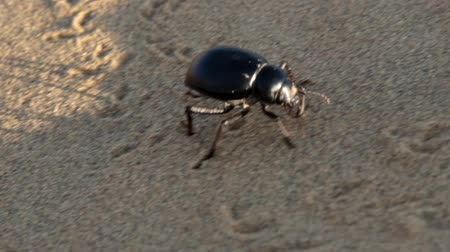 bionomics : Black beetles (darkling beetles, Blaps gigas) roam sands of Great Indian Desert (Thar), leave chain of tracks; they collect water from morning raw air, are saprophages. Camera pursues object