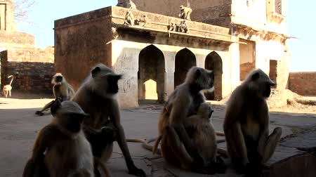 synanthropic animals : family pack of monkeys langur are mostly females with cubs and young animals on the walls like in the history of Mowgli (Bander-logs). India