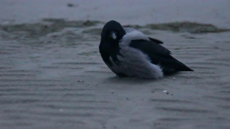 ゲスト : Sitting on the beach in the cold wind gray hooded crow (Corvus cornix) fluff plumage