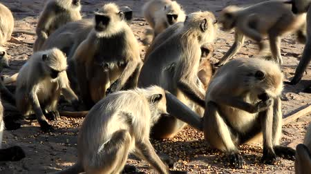 ant : Langur eats ants crawling on the ground. Monkey bitten by an ant. Animals-myrmecophages. India Stock Footage