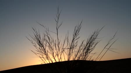 grit : Thin graceful desert grasses on the top of the dune on the background of orange dawn. Romantic sunset in the desert.. Great Indian desert