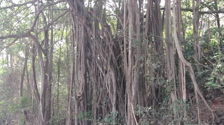 havlama : Roots-props (roots-backup, aerating roots) of Banyan. India, sacred tree