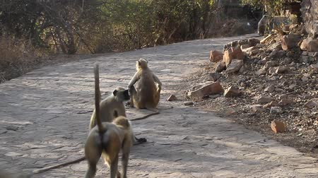 synanthropic animals : A flock of languru on a Park path. India Stock Footage
