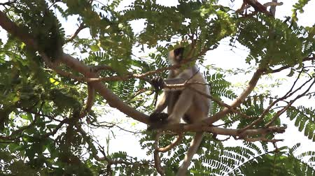 monkey temple : Two young monkeys langur play in the branches of a Prosopis