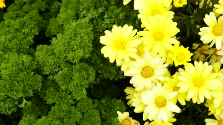 floweret : Yellow daisies Doronikum in a frame of greenery. Bright elegant flower bed in the yard. Flower garden as a work of womens art