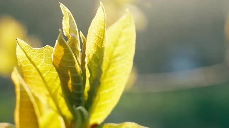 ayrılmak : Green foliage in the contra light. Spring aspects of nature Stok Video