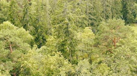 fince : Mixed and coniferous forest in Scandinavia. Old pine and spruce trees in Finland. The view from the top