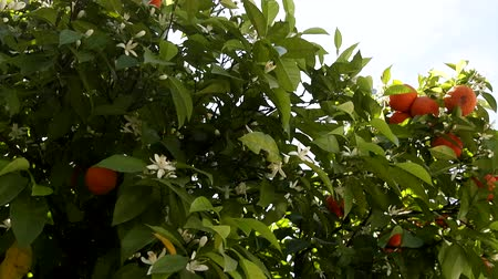 nisan : Flowering and fruiting of the same orange tree - remontant are characterized by flowering throughout the year. Asia Minor, April