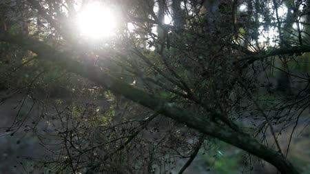 diurnal : The setting sun shines through the Bush, the rays of the sun