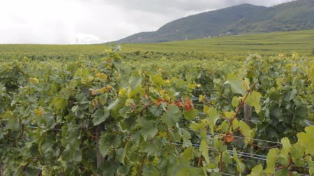shluk : Beautiful vine, green grapes bunches in vineyard. world famous wine industry of France