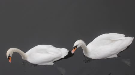 regal : Mute Swan said most beautiful Regal bird because it effectively reveals fether and crucially swims.