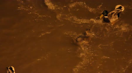synanthropic animals : City ducks on stormy night river in lantern light. Competition for food