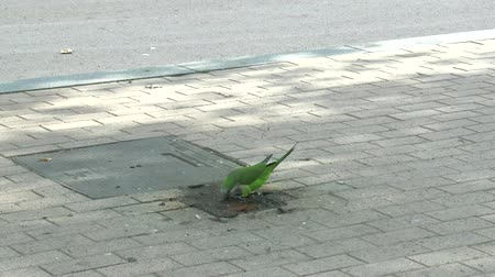 pecker : parrot (Monk Parakeet, Myiopsitta monachus, Myiopsitta gen.) right in city drinking water on the pavement
