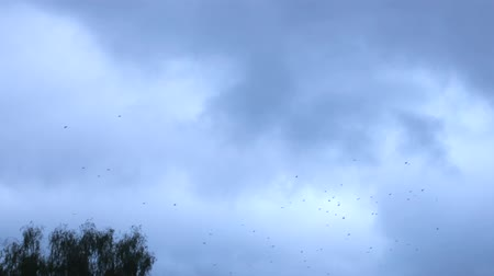 cheerless : Many birds (hooded crow) whirl in the sky in the evening hour. Flying birds before the night, a large flock Stock Footage