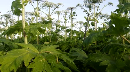 dev : Harmful plants. Three-meter high thickets of Sosnovsky giant hogweed has flooded agricultural land: roadsides, fields and wasteland. Noxious plant, heat, stinging herb
